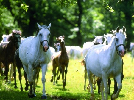 Lipica horses are born dark and get white later